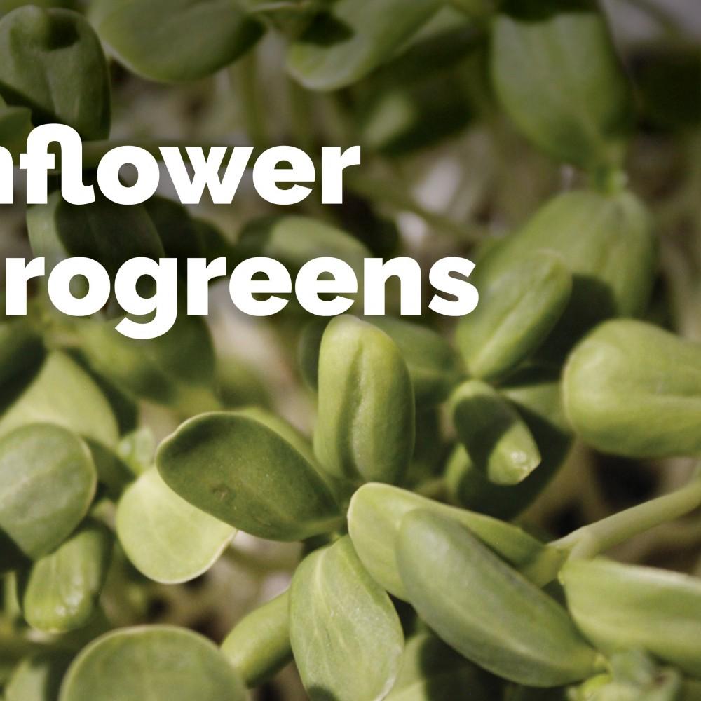 Sunflower - Microgreens