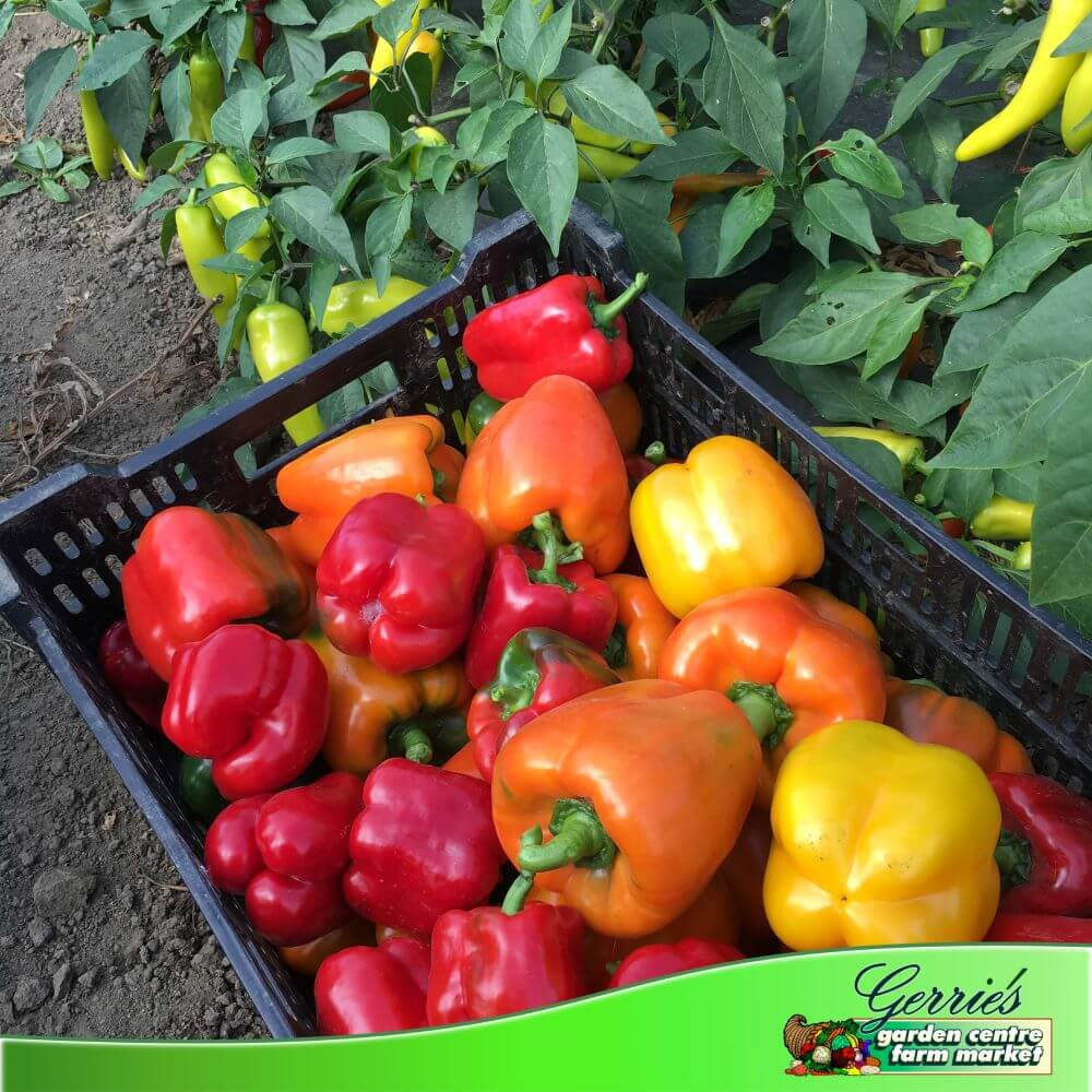 Sweet Peppers - Coloured