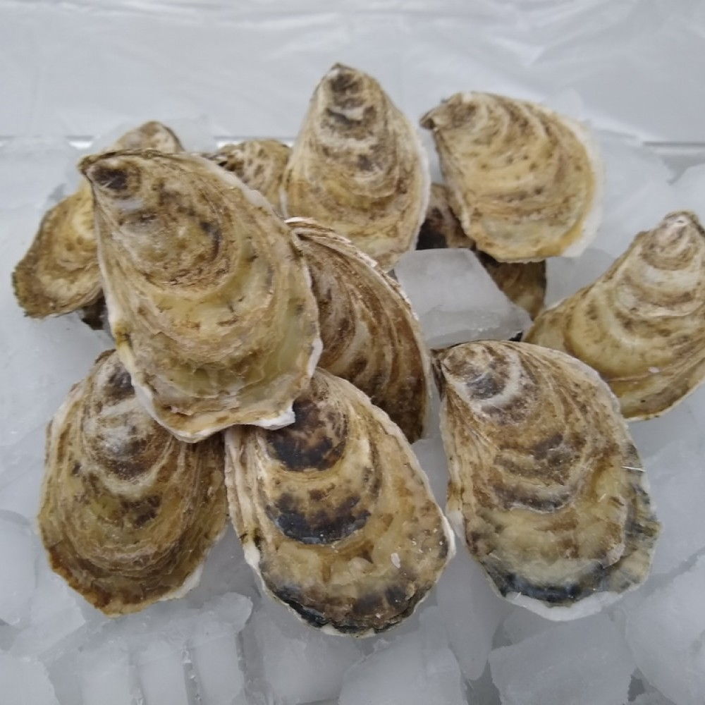 fresh Beausoleil oysters in the shell
